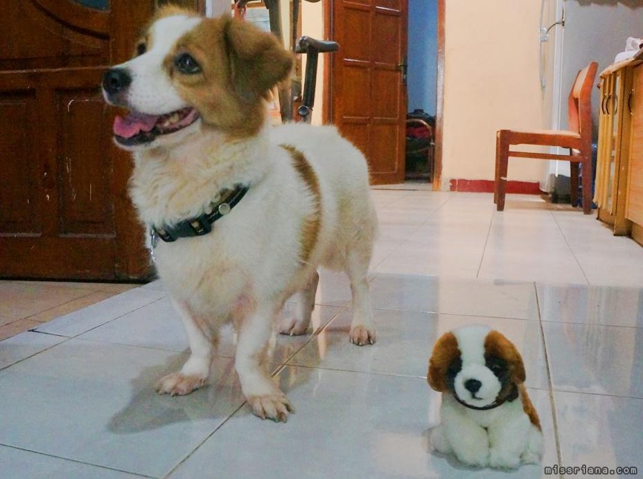 Hewan Peliharaan Anjing bernama poppy