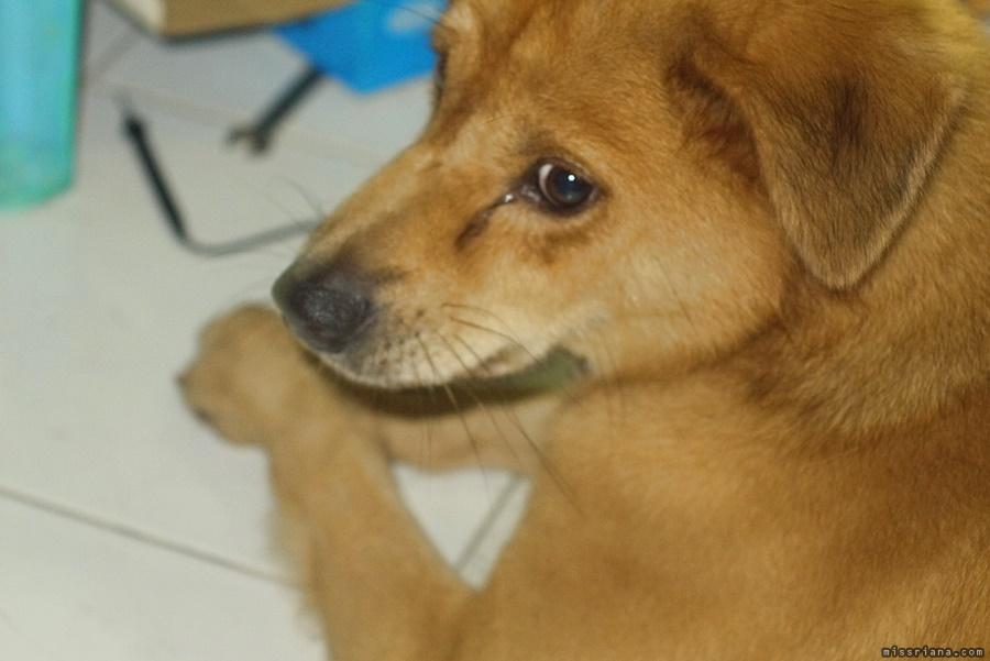 Hewan Peliharaan Anjing bernama mr.rob