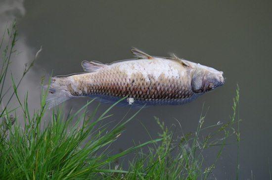 Ikan mati karena pencemaran lingkungan